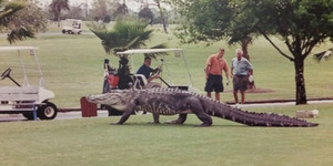 Buaya Raksasa Muncul di Lapangan Golf, Pengunjung Kabur