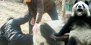 Pria Tiongkok Digigit Panda Dapat Kompensasi Rp 1 Miliar