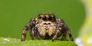 Racun Laba-laba Bisa jadi Obat Penghilang Nyeri