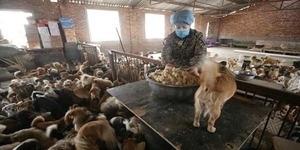 Wanita China Pelihara 1.300 Anjing