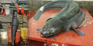 Belut Raksasa Bobot 73 Kg Tertangkap Nelayan Inggris
