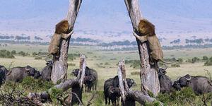 Foto Fenomenal Singa Takut Dikejar Kawanan Kerbau