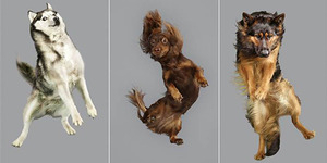 Ekspresi Kocak Pemotretan Anjing 'Terbang'