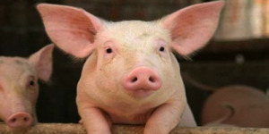 11 Istilah Atau Nama Lain Babi