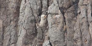Ampuh, Kambing Ini Berjalan Vertikal di Tebing