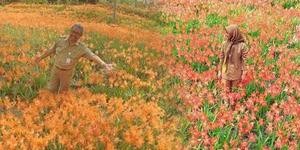 Cantiknya Taman Bunga Amarilis di Jogja, Tapi Kok Dirusak?