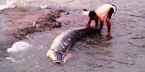 Ikan Raksasa Mati Hebohkan Warga Ciliwung