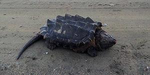 Kura-kura 'Dinosaurus' Hebohkan Warga Rusia