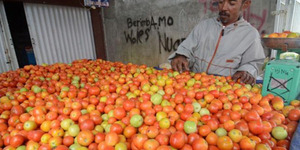 Harga Tomat Melonjak Rp 22.000 per Kg, Petani Panen Duit
