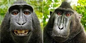 Sidang di AS, Monyet Sulawesi Kalah Dapatkan Hak Cipta Selfie