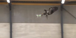 Belanda Latih Elang untuk Lumpuhkan Drone