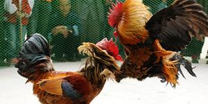 Penjudi Curang Dipukuli, Babak Belur Disemen di Kandang Ayam