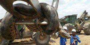 Video Ular Anaconda 400 Kg Muncul di Area Proyek Brasil