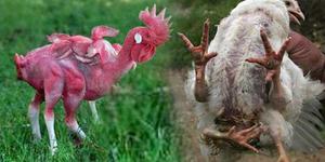Ada Yang Aneh Pada Ayam ini, Kakinya Empat!