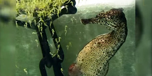 Lihat, Kuda Laut Jantan Lahirkan Ribuan Bayi