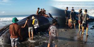 Paus 15 Ton Terdampar di Pantai Jadi Tontonan Warga Bali