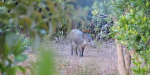 Babi Hutan Terlangka Ternyata Ada di Indonesia