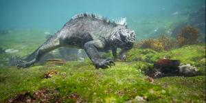 Video: Godzilla, Iguana Laut di Kepulauan Galapagos