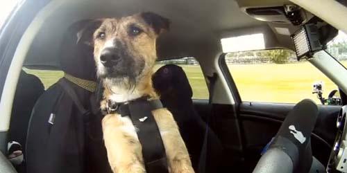 Porter, Anjing Pertama di Dunia yang Bisa Mengemudi Mobil